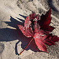 Reds And Purples - Deep Red Maple Leaf And Its Shadow by Georgia Mizuleva