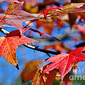 Reds Of Autumn by Kaye Menner