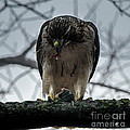 Redtail Hawk And Mouse by Ronald Grogan