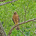 Red-shouldered Hawk by Donna Brown
