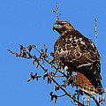 Red-tailed Hawk by Marty Fancy