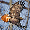 Redtail Hawk Square by Bill Wakeley
