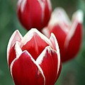 Redwhitetulips6838-1 by Gary Gingrich Galleries