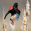 Redwing Blackbird Displaying by Daniel Behm