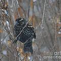 Redwing Blackbird Immature Male  by Ruth  Housley