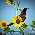 Redwing In Sunflowers by Robert Frederick