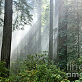 Redwood Forest With Sunbeams by Inga Spence