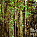 Redwood Grove California by Bob Christopher