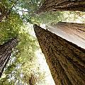 Redwood Heaven by Bryan Shane