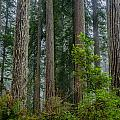 Redwood Lineup by Greg Nyquist