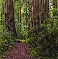 Redwood Path by Loree Johnson