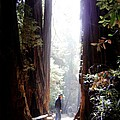 Redwood Path by Mary Rogers