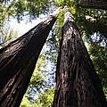 Redwood Reach by Leto Covington