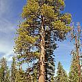Redwood by Rod Jones