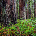 Redwood Sentinels by Mike  Walker