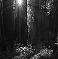 Redwood Sunburst Monochrome by Vishwanath Bhat