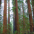 Redwood Trees by Panoramic Images