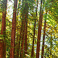 Redwood Wall Mural Panel 1 by Artist and Photographer Laura Wrede