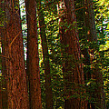Redwood Wall Mural Panel Three by Artist and Photographer Laura Wrede
