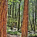 Redwoods 2 Big Basin by SC Heffner