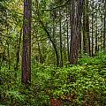 Redwoods 2 by Mike Penney