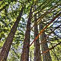 Redwoods 3 Big Basin by SC Heffner