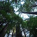 Redwoods II by Kathy Sampson