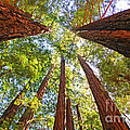 Redwoods by Jack Schultz