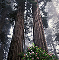 Redwoods by Ron Sanford