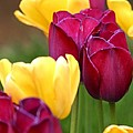 Redyellowtulips6728 by Gary Gingrich Galleries