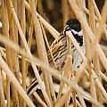 Reed Bunting by David Head