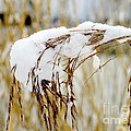 Reed With Snow by John Chatterley