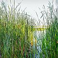 Reeds And River by Alain De Maximy