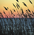 Reeds At Sunset Island Beach State Park Nj by Terry DeLuco