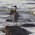 Reef Egret by Douglas Barnard