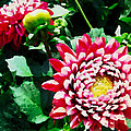 Ref Dahlias by Alice Gipson