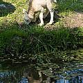Reflected Cute Little Lamb by Georgia Mizuleva