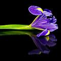 Reflected Iris by David Head