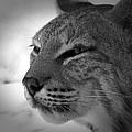 Reflecting Bobcat... by Christena Stephens