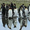 Reflecting King Penguins by Amanda Stadther