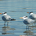 Reflecting Shore Birds On Cumberland Island by Bruce Gourley