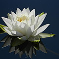 Reflecting Water Lilly by Nicki Bennett