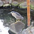 Reflection Of A Black-crowned Night Heron by Karen Winkfield