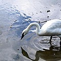 Reflection Of A Lone White Swan by Maria Urso