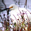 Reflection Of A Snowy Egret by Travis Truelove