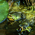 Reflections Of A Bullfrog by Optical Playground By MP Ray