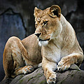 Reflections Of A Lioness by Athena Mckinzie