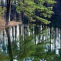 Reflections Of The Pine by Maria Urso