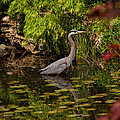 Reflective Great Blue Heron by Jordan Blackstone
