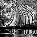 Reflective Tiger by Jerry Winick